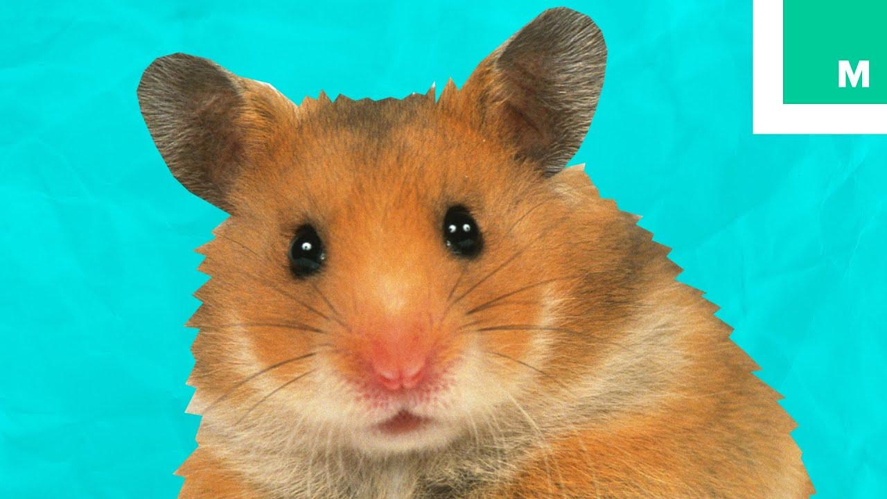 Hamstercom