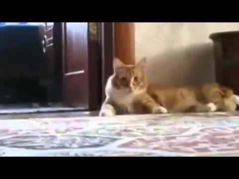 Lucu ... Kucing Pura - Pura Pingsan