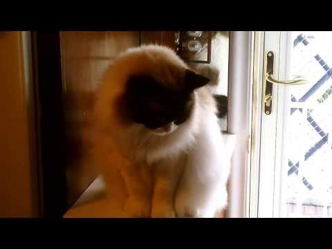 My smart Ragdoll cat