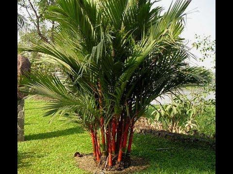 Cách trồng cây dừa cảnh đúng phong thủy để Tài Lộc ào ạt đổ vào nhà