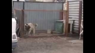 Собака танцует под modern talking в Караганде район Михайловка