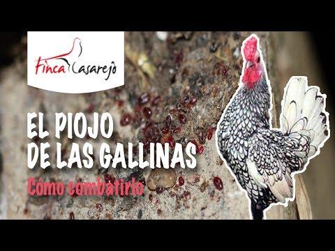 araña roja gallinas