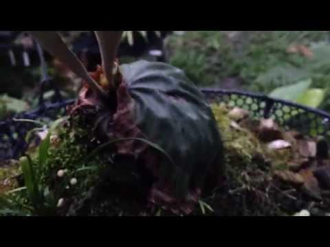 Platycerium  madagascariense - Staghorn fern - Elkhorn