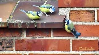 Blaumeise bluetit Cyanistes Caeruleus Parus Caeruleus tomtit blue titmouse Vogelbeobachtung birding