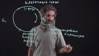 Цитология. Лекция 7. Клеточный цикл. Окштейн И.Л.