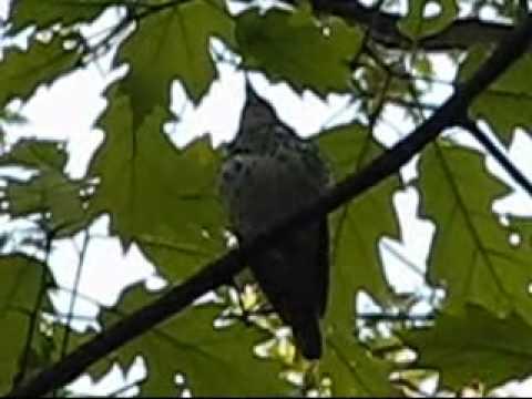 Wood Thrush preening singing song close-up