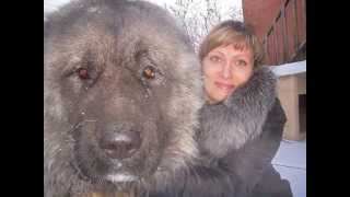 Biggest Dog In The World - New Video 2015 - Amazing Huge Dogs