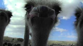 Gambar cover Ostrich Eats Camera