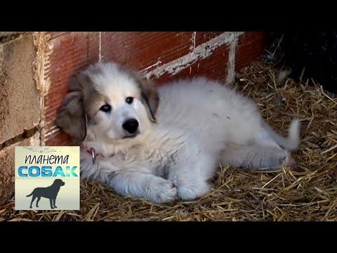 Большая пиренейская собака. Планета собак 🌏 Моя Планета