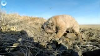 Сибирские генетики скрестили домашнюю кошку и дальневосточного дикого кота
