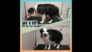 Border Collie  Blue's Dog Grooming TransFurMation
