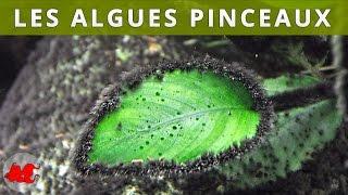 Les algues pinceaux