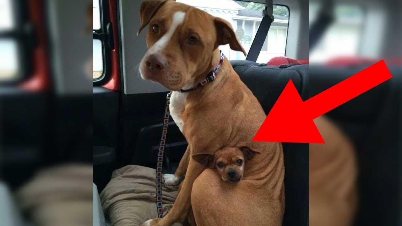 Pitbull Adoptieren