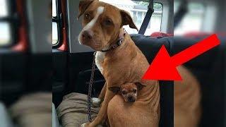 Mann will Pitbull adoptieren - Der Hund weigert sich seinen besten Freund loszulassen!