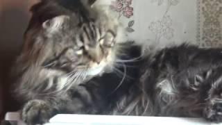 Норд худ и  лохмат,  тяжело коту без вязок/ питомник ЛИРИКУМ