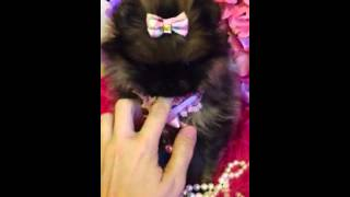 "Teddy Bear Faces Pomeranian Puppies For Sale "" Faith """