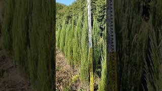스카이로켓향나무 1,5~ 300주 판매합니다  ㆍ수형 …