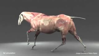 Анатомия лошади 3 D