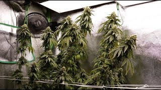 Home Grow Series - Training to Maximize Your Yield