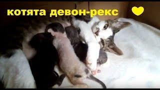 ✅ Котятам девон-рекс 8 дней/Как понять что котята наедаются