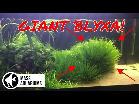 Growing GIANT BLYXA With 1 Root Tab: 40 Gallon Planted Aquarium