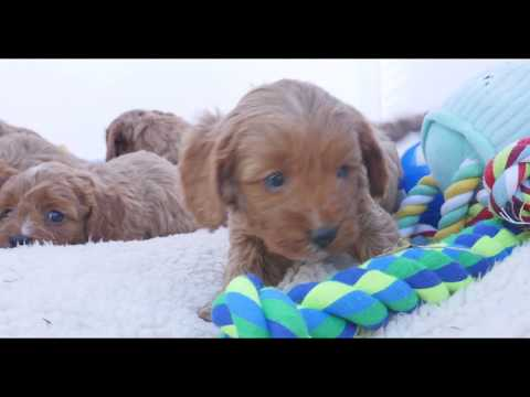 Toys and Toy Cavoodles!