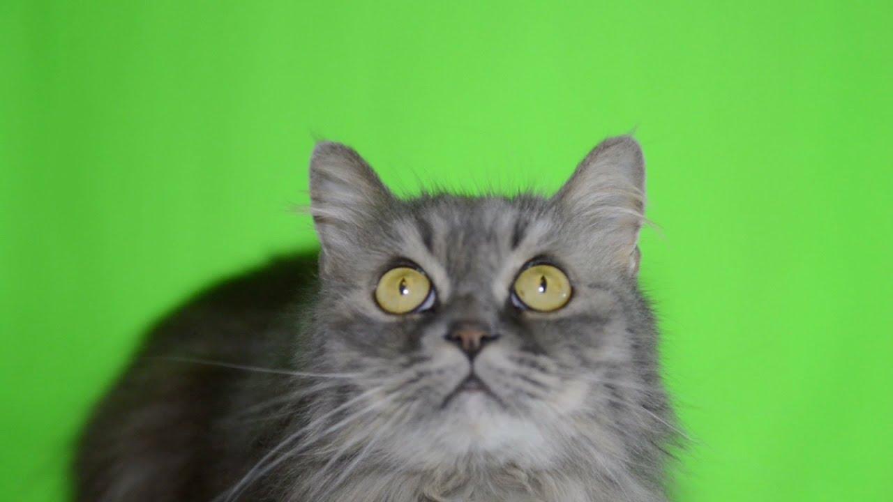 my cat screams at me