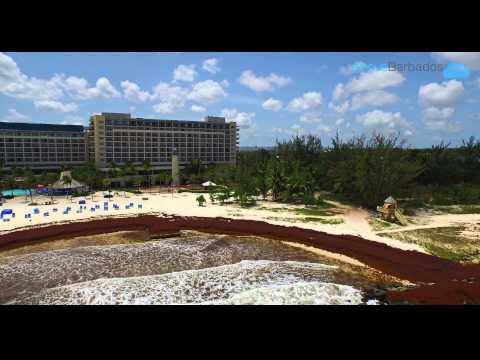 Sargassum Seaweed in Barbados