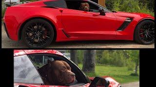 World famous 180lbs pit bull THE HULK  rides in 700hp c7 zo6 corvette 100,000$ we got ice cream 🍦
