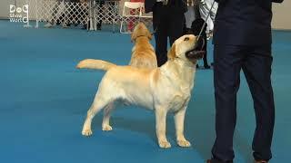 labrador dog show 2021   2021 dog show