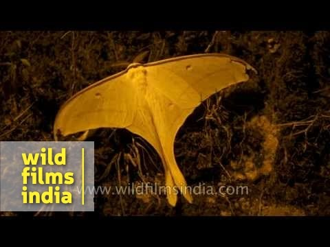 Indian Moon Moth - as large as a human hand