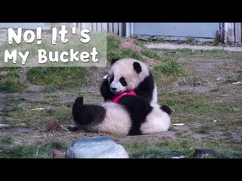 Two Baby Pandas Fighting Over A Bucket| IPanda