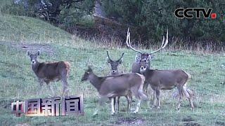[中国新闻] 青海:首次拍摄到雪豹和白唇鹿对峙画面 | CCTV中文国际