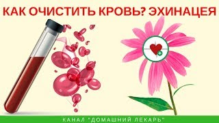 Как очистить кровь? Эхинацея! - Домашний лекарь - выпуск №249