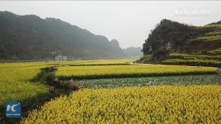 Aerial view of beautiful flowering rapeseed fields in Guizhou, China