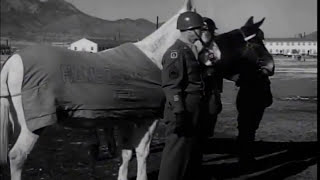 U.S. ARMY PACK MULES RETIRE AT FORT CARSON 1956