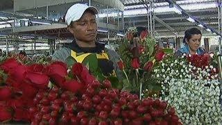 Цветоводы Колумбии предвкушают День св. Валентина (новости)(, 2014-02-12T07:42:07.000Z)