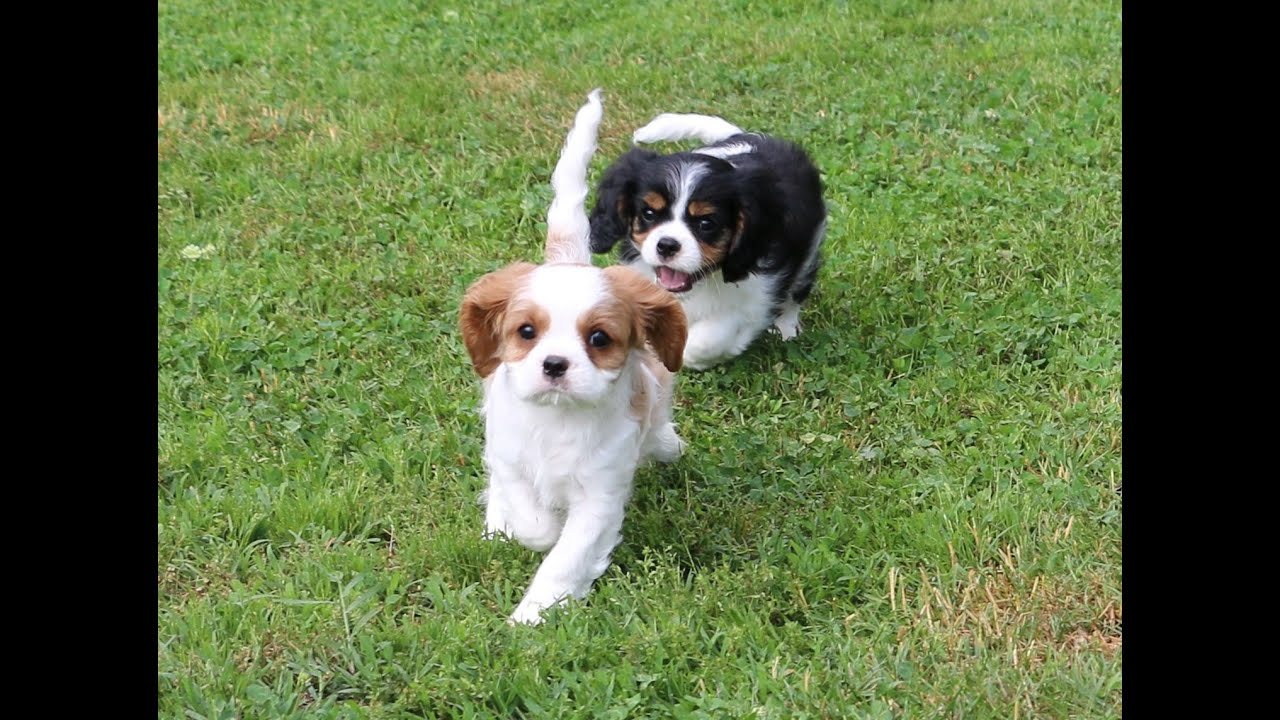 Cavalier King Charles Spaniel Puppies at play outside