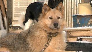 Массовые случаи отравления собак зафиксированы в Вологде и Череповце