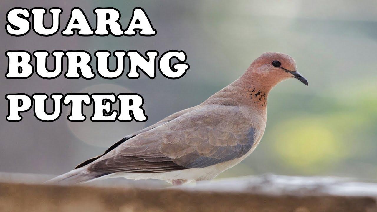 Master Suara Burung Puter Kugeruk Manggung Gacor 2 Jam Barbary Dove Youtube
