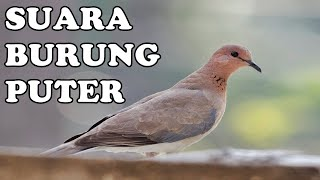 Download Master Suara Burung Puter Kugeruk Manggung Gacor 2 Jam (Barbary Dove) Mp3