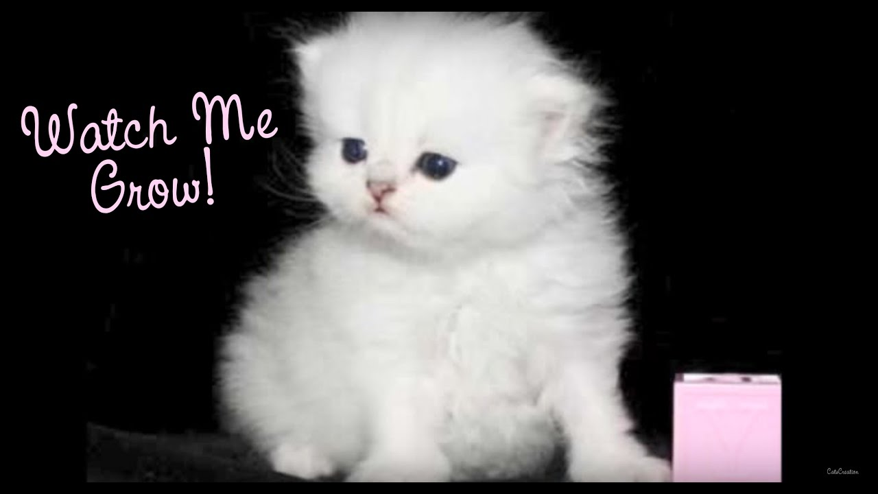 Watch a Persian Kitten Grow Doll Face Teacup Persian Kittens For