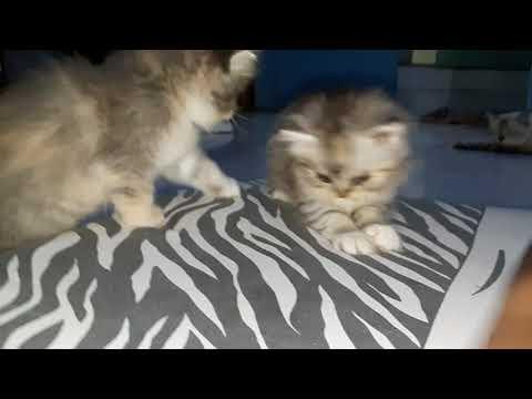 Kucing blasteran persia anggora berantem.  Sadis