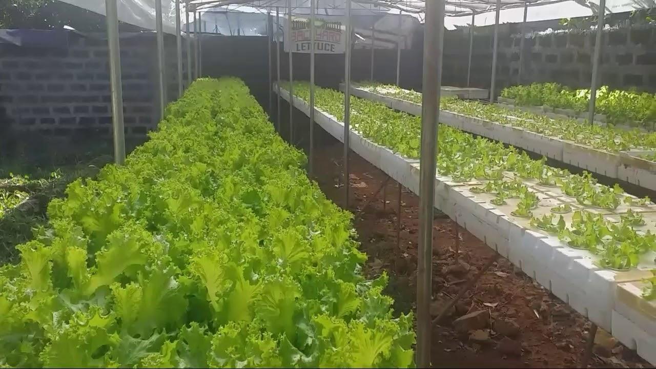 MORNING VIEW LETTUCE FARM