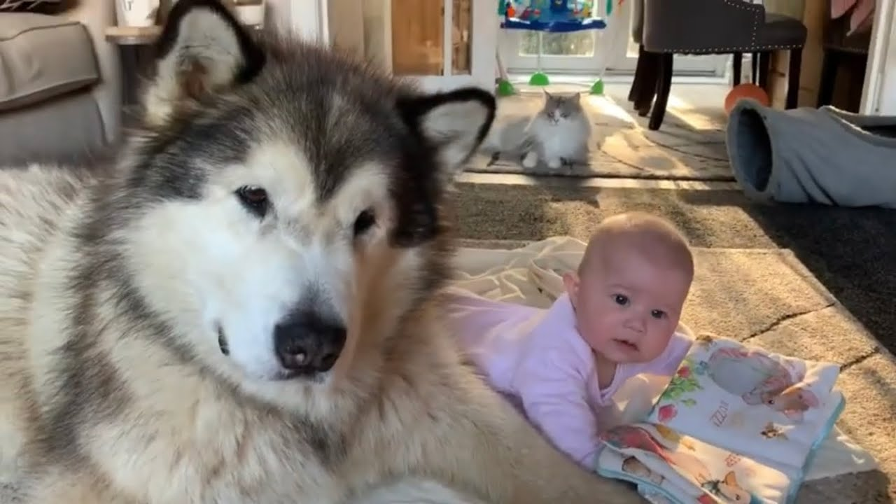 My Giant Dog Plays With Baby Cutest Video Youtube Tonka the malamute aka waterwolf. my giant dog plays with baby cutest video