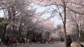 인천대공원 벚꽃축제