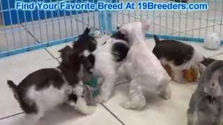 Miniature Schnauzer Puppies For Sale 19breeders