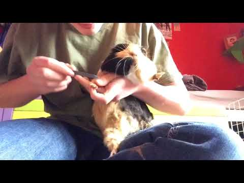 How to groom and health check guinea pigs (featuring a post neuter pig)