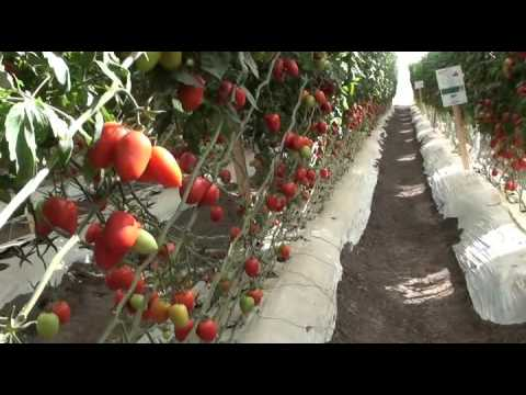 Indeterminate and semi determinate tomatoes in the Cravo Demonstration Greenhouse without insect net
