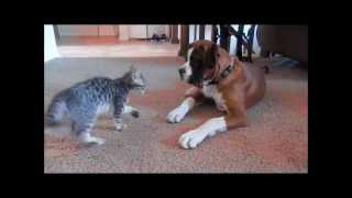 Hunter the boxer puppy vs. Olive the bengal kitten